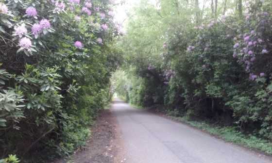 Rhododendrons in bloom alongside Ringwood Road near North Ripley in the New Forest
