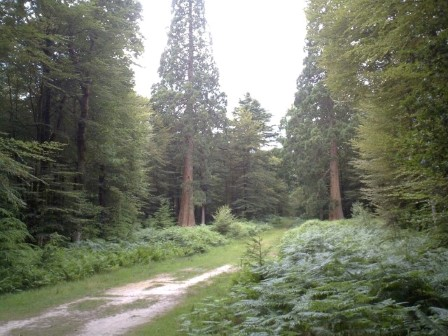 Two giant sequoia which are the largest trees in England stand guard beside a forest track off Rhinefield Drive